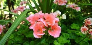 Geraniums From Seeds