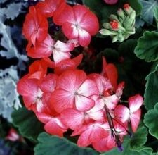 Pests & Diseases Found on Geraniums