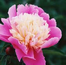 How to Get Rid of Grass in Peonies
