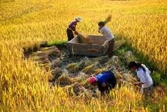 Vietnam rice price shoots up