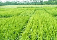 Country to keep 3.8 million hectares of rice cultivation land