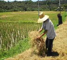 Excessive rice cultivation puts soil fertility at risk