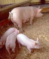 Continued Government Support for Pork Breeders