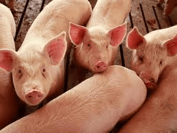 Reduced Pork Production and Strong Demand