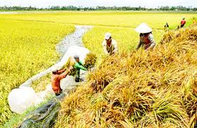 Summer-autumn rice prices escalate
