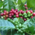 Vietnam's coffee exports estimated at US$2.1 bil in eight months