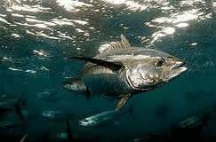 MSFC to begin project on tuna resources