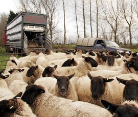 Firm prices boost sheepmeat production