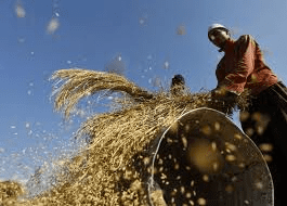 Evening markets: US harvest, India exports weigh on grains