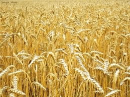 Outlook good for quality of wheat harvest