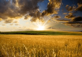 French wheat, corn output revised up on good summer