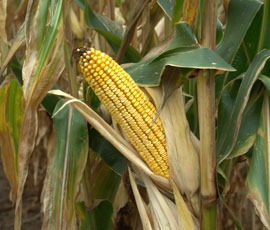Resistance found in GM maize target pest
